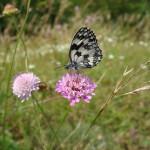 Farfalla Cresta dei Tausani San Leo-321