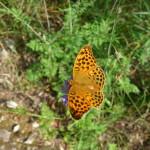 Farfalla Cresta dei Tausani San Leo-355