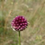 Fiore Cresta dei Tausani San Leo-303