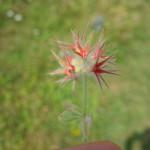Fiore Cresta dei Tausani San Leo-320