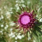 Fiore Cresta dei Tausani San Leo-327