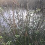 Juncus acutus (o maritimus) (2)