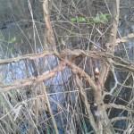 Ulmus minor var suberosa - Olmo campestre var. suberosa (2)